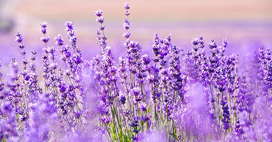 fiori_lavanda